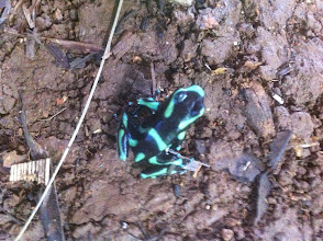 Photo: And another dart frog