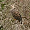 Bald Eagle (Juvenile-3 yr. old)