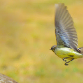 Tropical Kingbird by Nirmal Neelakandan - Animals Birds ( bird, wild life, tropical kingbird )