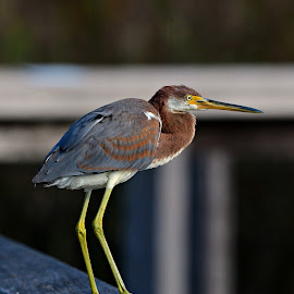 Trim colored heron by Ruth Overmyer - Animals Birds (  )