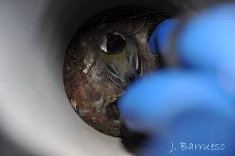 Photo: El sitio de hacer el nido es de los más extraños que me he podido encontrar. En un tubo puesto verticalmente. Este carbonero sacó adelante a sus pollos aquí, en este lugar.