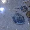 Atlantic Horseshoe Crab