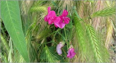 Photo: Mazăre sălbatică (Pisum sativum subsp. elatius) - de pe Str. Tineretului  - 2015.06.09