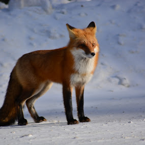 fox by Char Robertson - Animals Other ( winter, red, fox, beautiful, ontario )