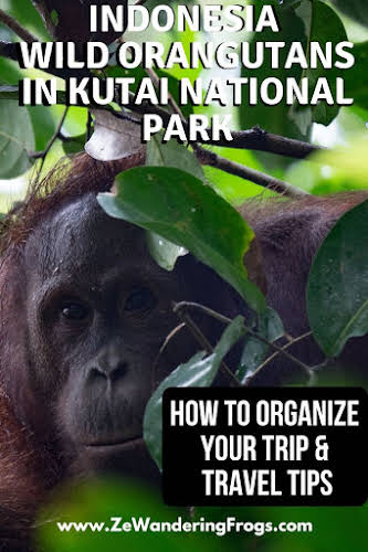 Wild Orangutans in Kutai National Park: How to Organize your Trip // Face to face with a Borneo Orangutan