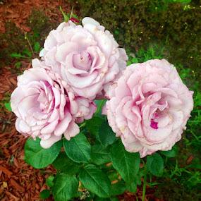 Three Old Ladies by Darla Grumbles - Flowers Flower Gardens (  )