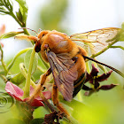 Carpenter bee - Male