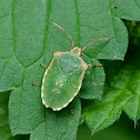 Hawthorn Shield bug