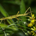 Spiny Ridge-backed Stick Insect (female)