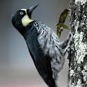 Carpintero payaso o Carpintero de los Robles - Acorn Woodpecker