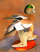 Photo: American Wigeon driftwood/plaque base