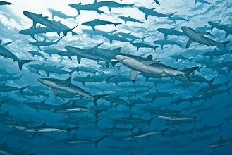 Photo: Silky Shark, Malpelo, Colombia