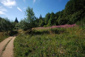 Photo: ... i wśród plantacji wierzbówki kiprzycy ruszam do góry