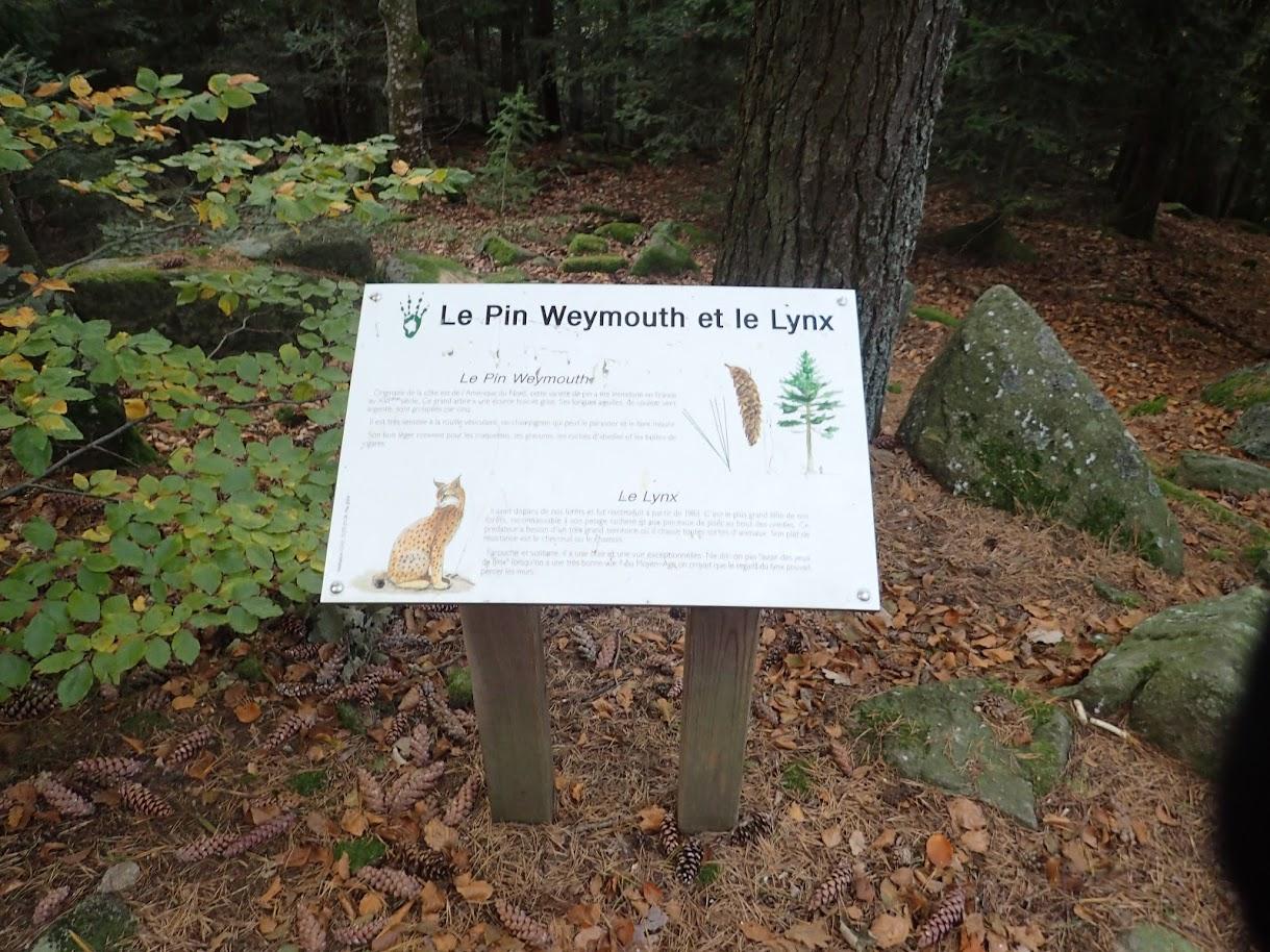 Des pins, oui, mais des Lynx...encore jamais vus