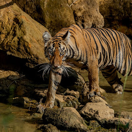 Stare before Stalk by Naveen Joyous - Animals Lions, Tigers & Big Cats ( nature, mammal, animal, stare, tiger, wildlife,  )