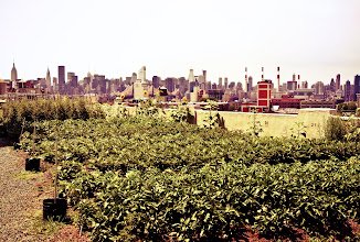 """Photo: """"Rooftop farm in New York City...""""  New York City is home to the world's largest rooftop farm which is called Brooklyn Grange. Located in Long Island City, Queens, the farm takes up one full acre of rooftop space on the top of a building built in 1919.  Tomatoes are their biggest crop but they have around 40 different varietals planted on the roof. They also grow herbs, carrots, fennel, beets, radishes, beans, and other crops year round. They sell the food grown at the rooftop farm to local communities, markets and restaurants.  Making usage of space like this in a city as densely populated as New York City is not only innovative but forward thinking and Brooklyn Grange plans on putting more farms on rooftops in New York City to improve quality of life and make efficient usage of neglected space.  —-  Sorry that I have been a little missing in action when it comes to posting this week. I spoke at the Blographer event this past week and I have been (happily) tied up with a few photography projects this week. I will try to post here and there even if I only have time to post my mobile photography. Excited about the photos I have taken recently (and will be taking) that I will get around to going through after this whirlwind of a week is over. Can't wait to share everything! :)    New York Photography: Urban farm on a rooftop in New York City.    You can view this post along with all relevant links over at my site if you wish here:  http://nythroughthelens.com/post/28878164127/urban-rooftop-farm-new-york-city-new-york-city  -  Tags: #photography  #newyorkcity  #newyorkcityphotography  #nyc  #farm  #farming  #rooftop  #rooftopfarm  #urbanfarming  #queens  #brooklyngrange  #newyorkcityskyline  #skyline"""