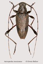 Photo: Anisopodus mexicanus (1), 11,9 mm, Costa Rica, Esquinas Rainforest (08°42´/-83°12´), leg. Erwin Holzer, det. Herbert Schmid