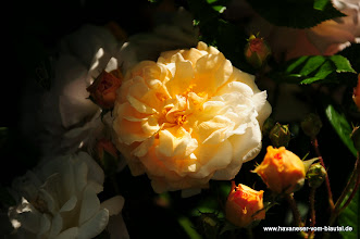 Photo: nochmals die Rose für den Pavillon