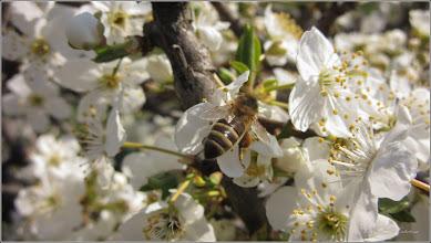 Photo: Turda - Str. Lianelor, Porumbar (Prunus spinosa)  - 2019.04.01