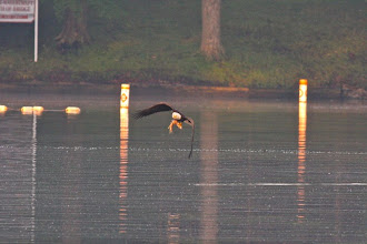 Photo: Bald eagle, heading to feed