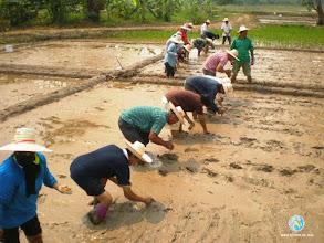 Photo: Transplantation by SMART farmers,ToT1, Tron district, Uttaradit