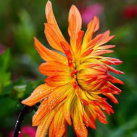 Dalhia n00280 by Gérard CHATENET - Flowers Single Flower