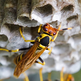 Polistes by Foggy Paipa - Animals Insects & Spiders ( avispas, wasp, puerto rico, paper, insectos, nest, tropical, el yunque, insects, insect, caribbean, rainforest, island, tropics, paper wasp, caribe, avispa,  )