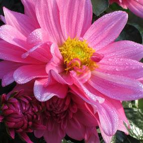 Pink Dahlias by Viive Selg - Flowers Flower Gardens (  )