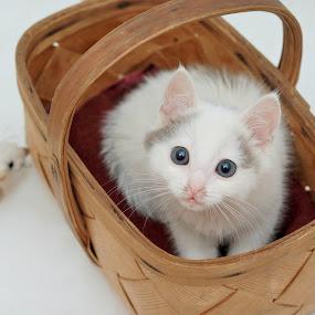 by Nadezda Tarasova - Animals - Cats Kittens ( tiny kitten white, baby, young, animal )