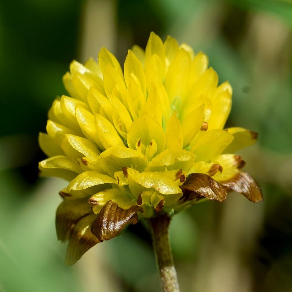 bloem (vroeg stadium)