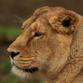 The Pondering Lioness by Mike Ellis - Animals Lions, Tigers & Big Cats