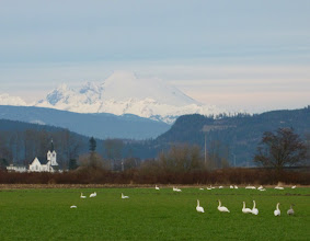 Photo: Trumpeter Swans in the Skagit River Valley, Fir Island, WA.