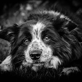 My lovely freckleface by Thyra Schoonderwoerd - Animals - Dogs Portraits ( old, black and white, lady, bordercollie, freckles )