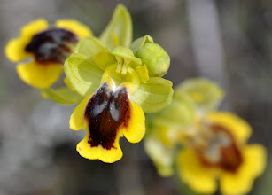 Photo: Ophrys sicula,Orchidaceae