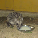 White-bellied hedgehog