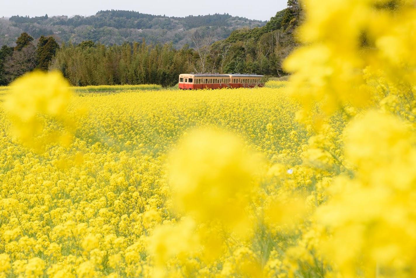 【旅2日目】千葉県を代表する絶景「小湊鐵道と菜の花」を撮りに石神へ