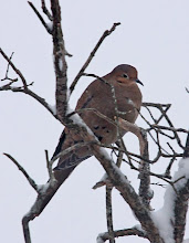 Photo: There's nothing more peaceful than the sight of a mourning dove in the snow.