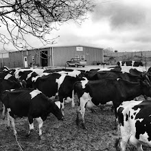Photo: The cows are marching to their morning grazing paddock.