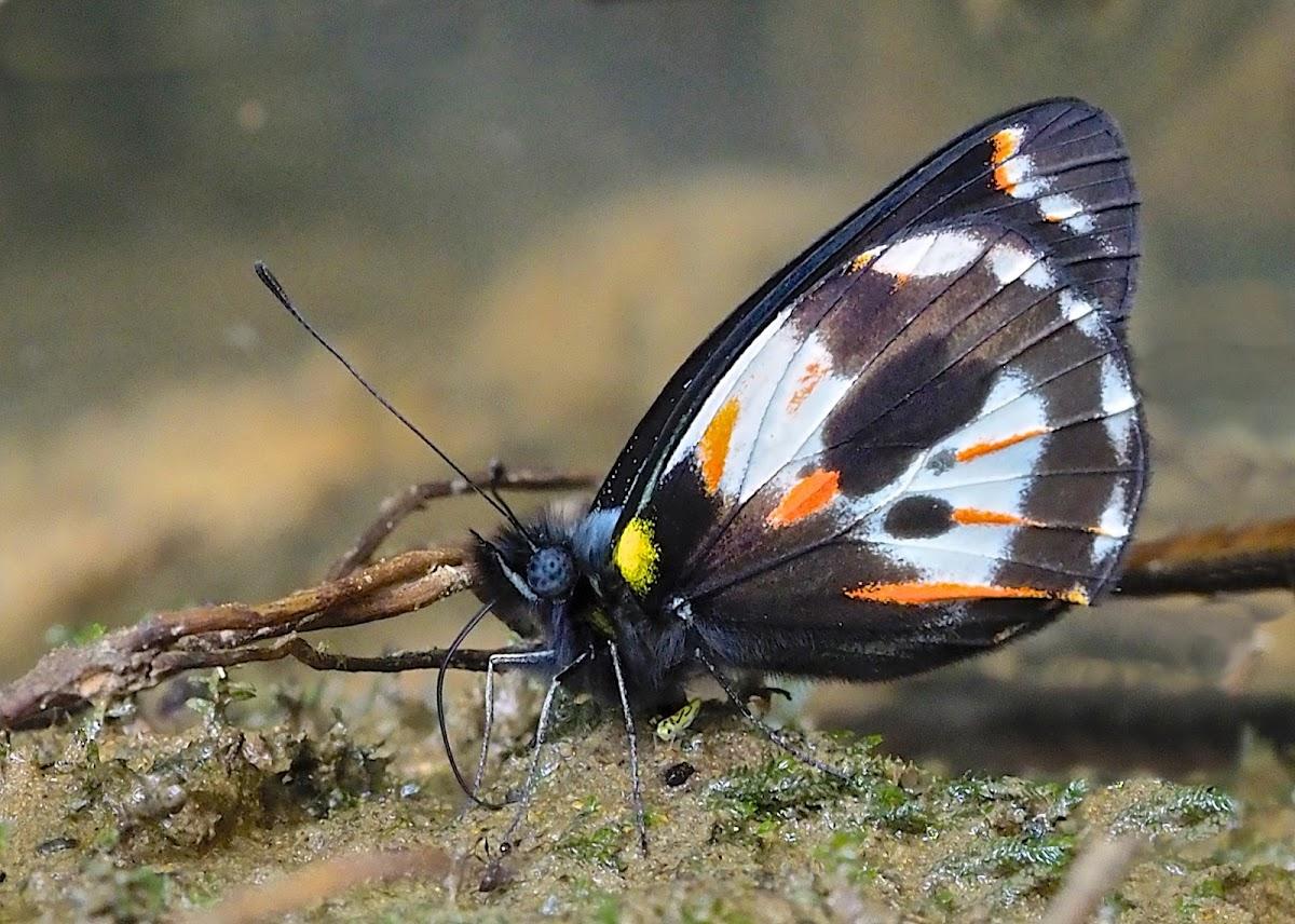 Delias hypomelas f. argentata