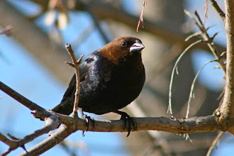 Photo: Here's a Brown-headed Cowbird as my last entry of the night for #BackyardBirdingMonday curated by +Ricky L Jones and +Celeste Odono