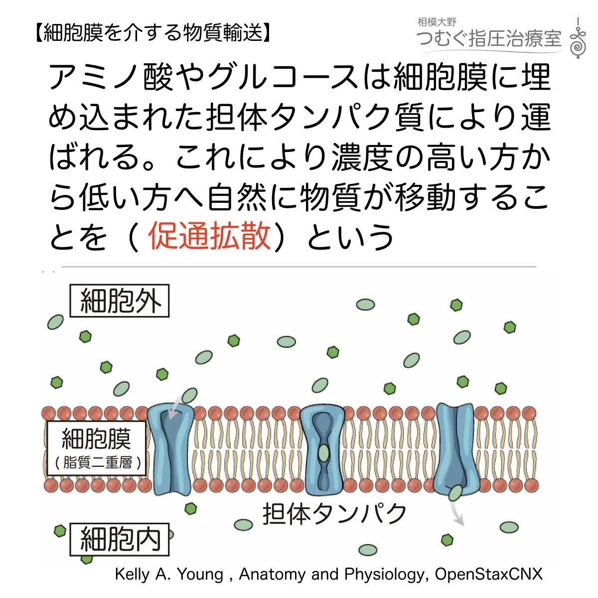 促通拡散:アミノ酸やグルコースは担体タンパクを通り拡散する