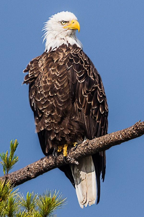 Bald Eagle on Branch by Carl Albro - Animals Birds ( bird, bald eagle, portrait, belgrade maine lakes area )
