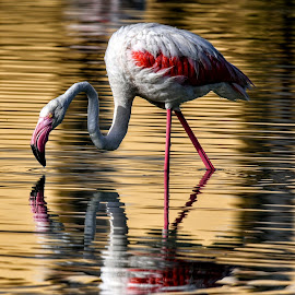 Flamingo  by Franco Salis - Animals Birds