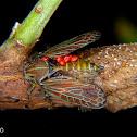 Aetalion planthopper