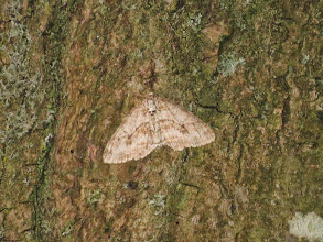 Photo: Priorslee Lake An Early Tooth-striped Moth which I found on a pale tree-trunk adjacent to one of the street lamps. Presumably the reflection was enough to attract the moth. (Ed Wilson)