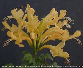 Photo: Tecomaria Amarela ( Tecomaria capensis )
