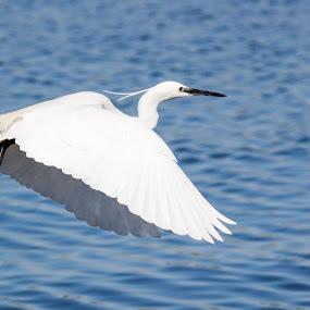 Landing spot by Ailsa Burns - Animals Birds ( sea bird, water, flying, birds, egret )