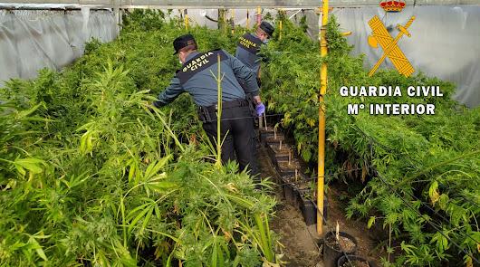 Intervienen dos invernaderos de marihuana y detienen a dos personas
