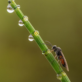 Thirsty Sawfly  by Barry Smith - Animals Insects & Spiders ( macro, nature, insects, wild, wildlife,  )
