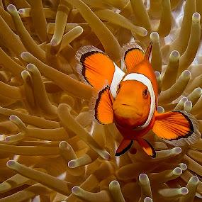 Nemo by Peter Schoeman - Animals Fish ( colourful, orange and white, fish, ocean, nemo )